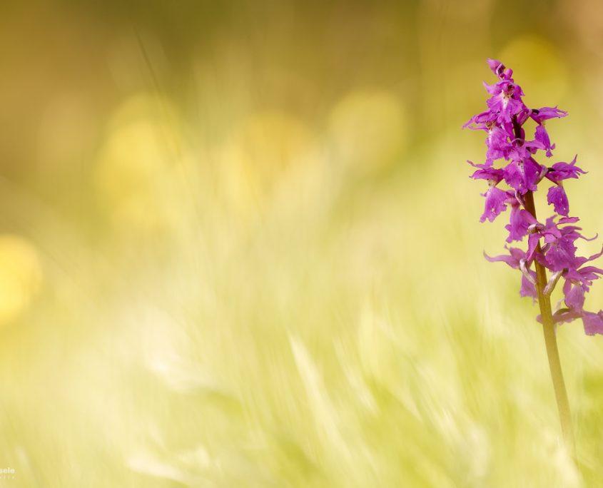Kleines Knabenkraut (orchis morio) | Zellerhornwiese, BW, Deutschland