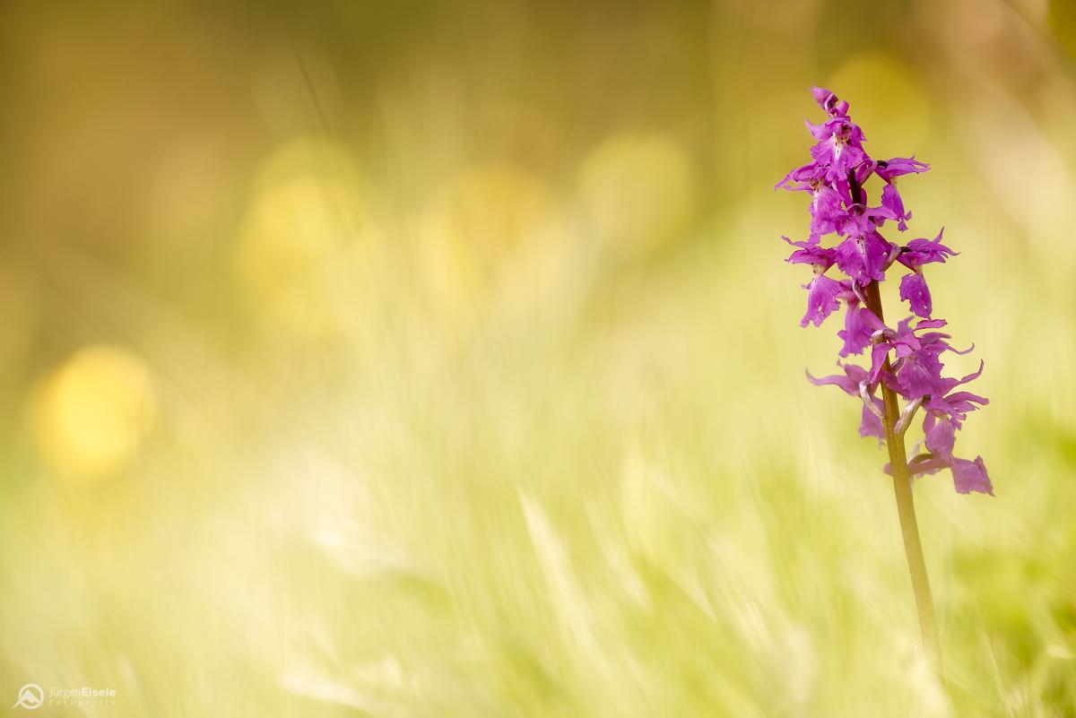 Kleines Knabenkraut (orchis morio) | Zellerhornwiese, Albstadt, Deutschland